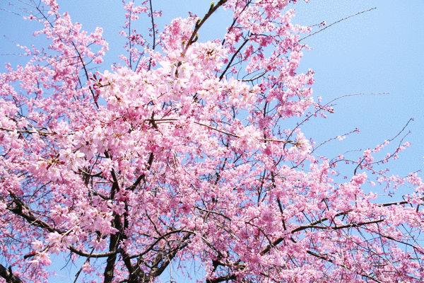 sakura-mini